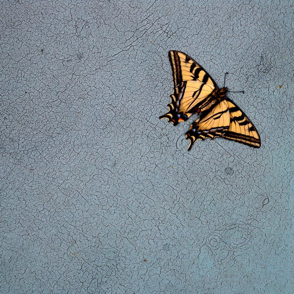 TDTDC 16 (Swallowtail Butterfly)