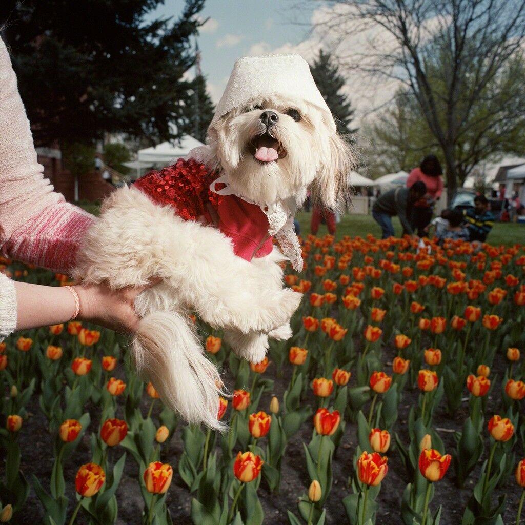 Dog in Bonnet, Tulip Festival, Orange City, Iowa