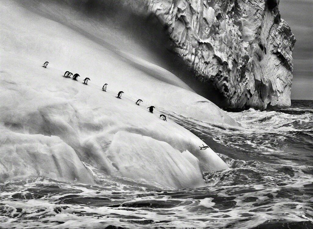 Chinstrap penguins dive off icebergs located between Zavodovski and Visokoi islands in the South Sandwich Islands
