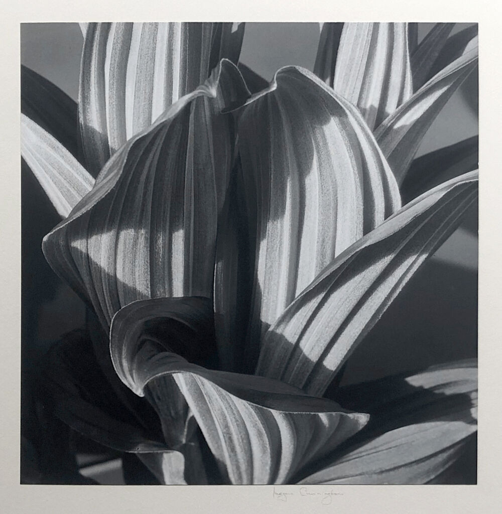 Glacial Lily (False Hellebore)