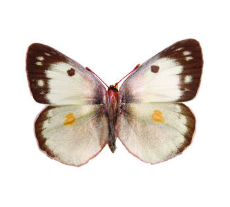 Colias Philodice FROM THE IMAGOS SERIES