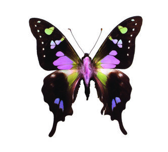 Graphium Weikei FROM THE IMAGOS SERIES
